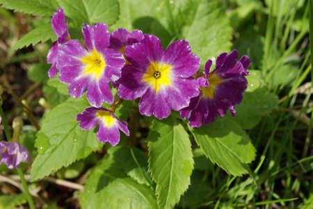 polyanthus: Beautiful purple flowers primroses (Primula vulgaris)