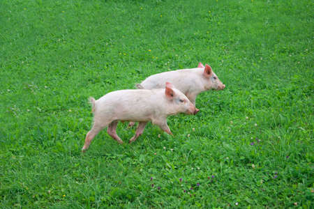Two pigs running through the green grass photo