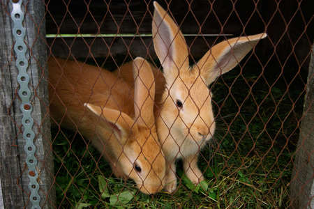 rabbit in cage: Two red rabbit sitting in a cage on the farm