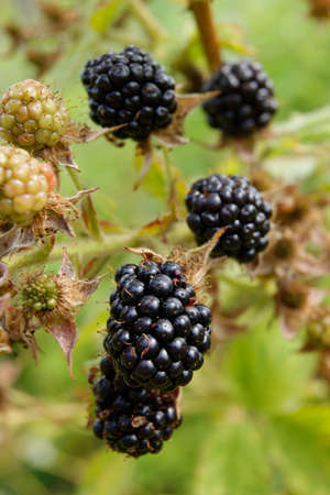 Ripe blackberries on the bush in the garden photo
