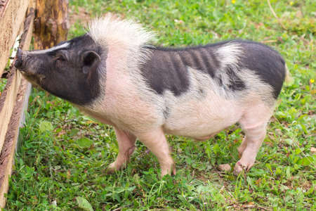 porker: Hog standing at the fence on a farm