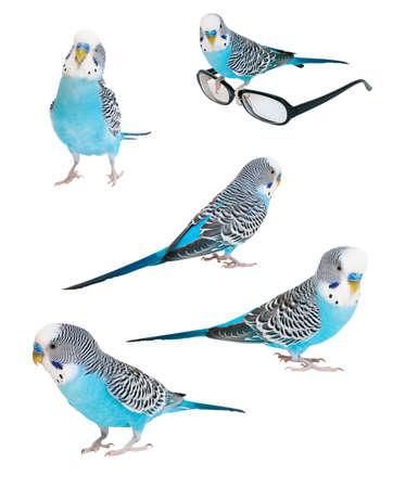 undulatus: Set blue budgerigar isolated on white background