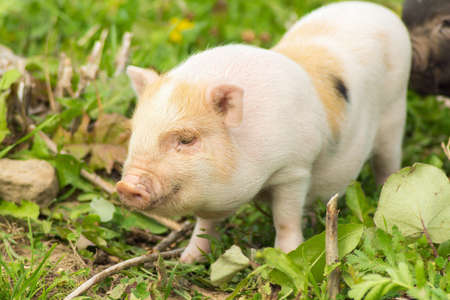 porker: Two well-fed pig walk on the grass in the summer Stock Photo