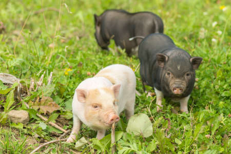 pig tails: Two well-fed pig walk on the grass in the summer Stock Photo