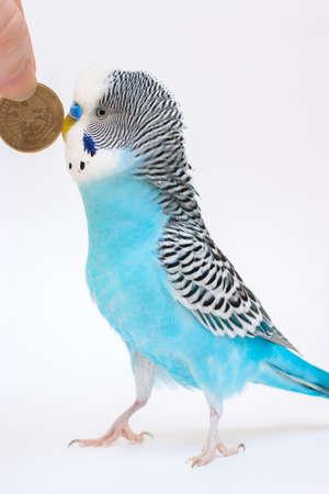 undulatus: Blue budgerigar and ten rubles Stock Photo