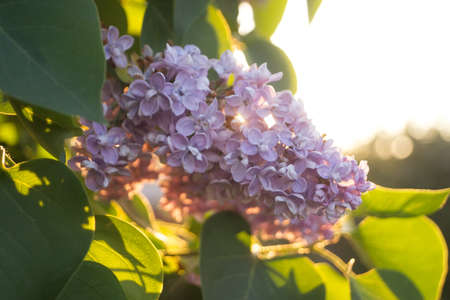 Flowers and leaves of lilac at sunshine in spring Stock Photo