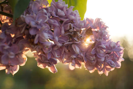 Flowers and leaves of lilac at sunset in spring Stock Photo