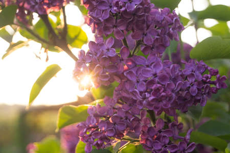 frondage: Flowers and leaves of lilac at sunset in spring Stock Photo