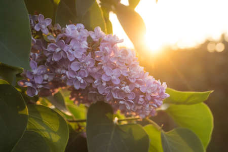 eventide: Flowers and leaves of lilac at sunset in spring Stock Photo