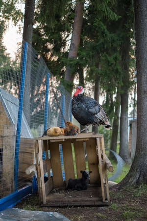 gallus: A few chickens (Gallus) and a turkey (Meleagris) sitting on a box with goatling  (hircus) a in the pen among the trees. Stock Photo