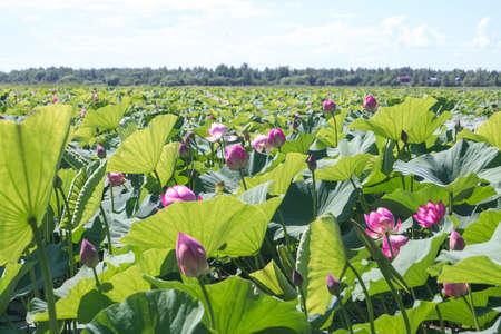 ピンクの花と湖の蓮の花 (ハス) の緑の葉.