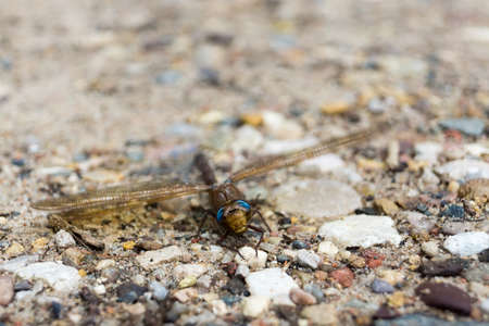 Dragonfly (Odonata) on a footpath in summer.