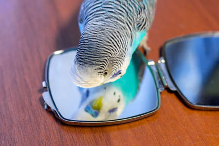 Male blue budgie play with mirror on a wooden table