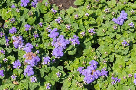 Bright Ageratum Houston (Ageratum houstonianum) in the summer garden
