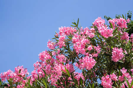 Bright pink oleander (nerium) against a blue sky in the summer garden