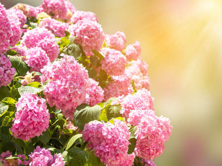 Beautiful background with a bush of pink hydrangea flowers