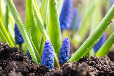 Young flowers Muscari sprout from the ground in the spring garden