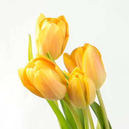 Five beautiful yellow tulips on a white background Stock Photo