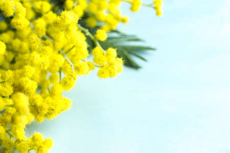 Blue background with yellow mimosa, closeup