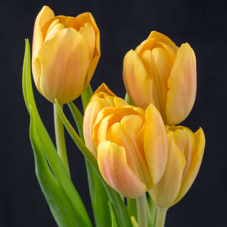 Five beautiful yellow tulips on a black background