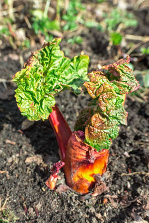Young bright rhubarb in the spring garden