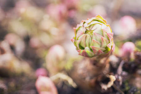 Young green and red Rhodiola rosea in the spring garden