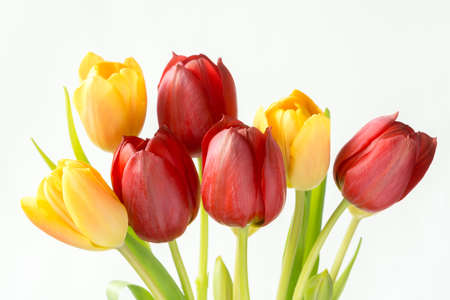 Red and yellow tulips on a white background