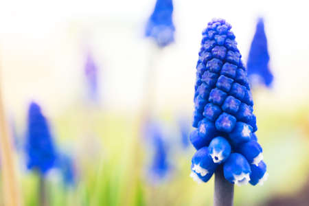 Young flowers Muscari in spring garden, closeup