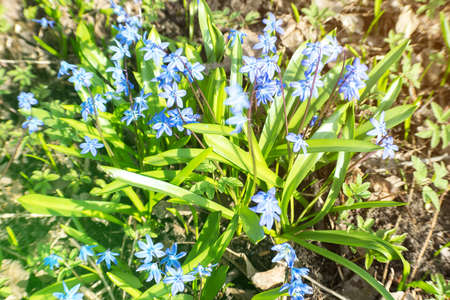 Blue spring flowers Scylla in the garden Stock Photo