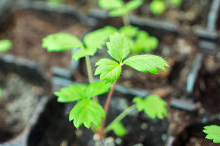 Young strawberry sprout in the ground Stock Photo