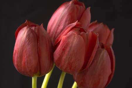 Five beautiful red tulips against black background Stock Photo