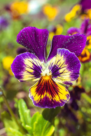 Beautiful natural background with bright pansies in a sunny garden Stock Photo