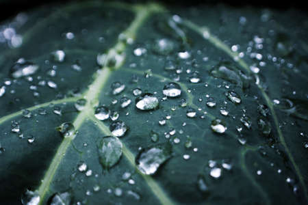 Natural background with cabbage leaf texture in raindrops, rainy weather, macro backdrop