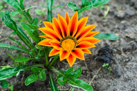 Orange gatsaniya (Gazania rigens) flower grows in the garden