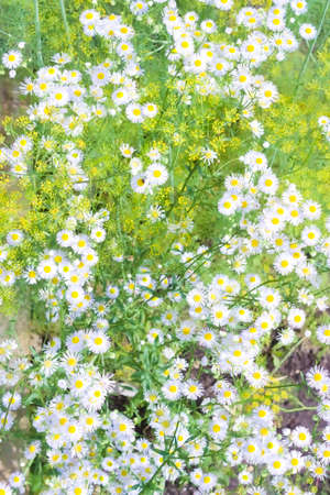 Natural background with blooming dill and white daisies
