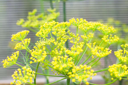 Natural floral background with yellow dill (Anethum) flowers in the garden. Agricultural concept, seasoning for canning Stock fotó