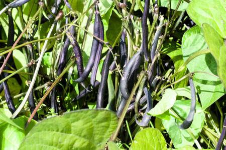 Ripe bean (Phaseolus) pods on a bush in the garden. Farmer season, agricultural concept