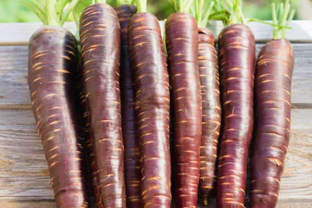 Freshly picked crop of dark purple carrots on a wooden window sill on a farm, harvest season Stock Photo