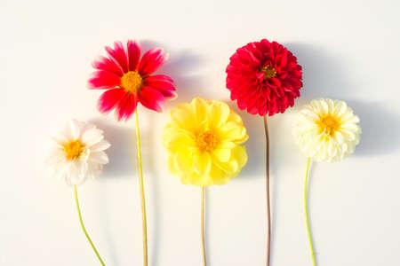 Diversi fiori multicolori della dalia su uno sfondo bianco. Bellissimo sfondo floreale