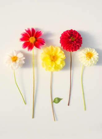 Several multi-colored dahlia flowers on a white background. Beautiful floral background Stock fotó