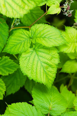 Young thickets of raspberries in the garden. Natural summer background with fresh foliage
