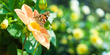 Painted lady (Vanessa cardui) or cosmopolitan butterfly on a orange dahlia in garden. Natural summer background with flowers and insect Stockfoto