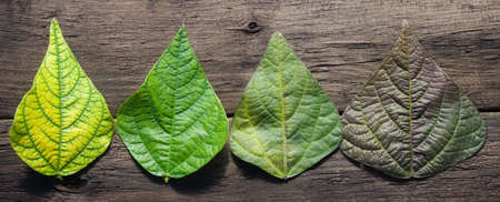 Beautiful bean leaves of different colors on a dark wooden background. Natural rural backdrop close-up, farmers season