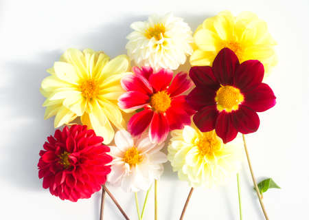 Several multi-colored dahlia flowers on a white background. Beautiful floral background with summer plants Stockfoto