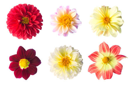 Set of six dahlia flowers isolated on a white background. Flowering Season Summer and Autumn