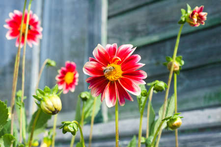 A bee on a pink and white dahlia flower in the garden near wooden house. Flowering season summer and autumn
