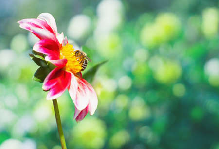 A bee on a pink and white dahlia flower in the garden. Flowering season summer and autumn