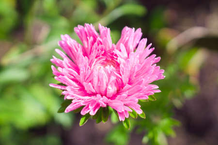 Lush pink aster flower in the summer or autumn garden