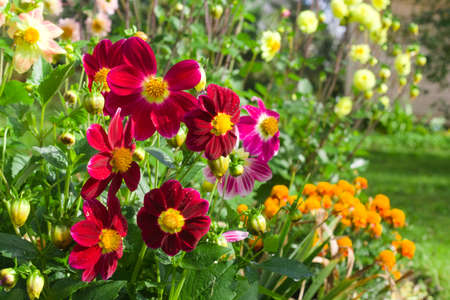 Flowerbed with dahlias and marigolds in a summer or autumn garden. Natural floral background