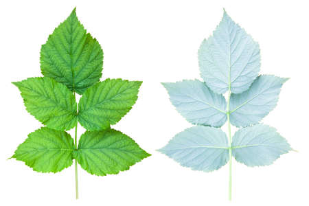 A branch of raspberry bush on both sides. Fresh green foliage isolated on a white background